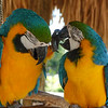 Pair of Macaws at the Alligator Farm
