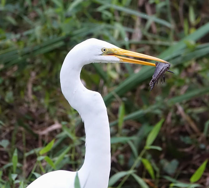 Great Heron with Fish in its Mouth