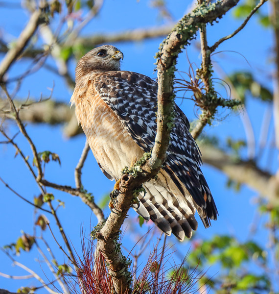 Side Profile of Red Shouldered Hawk on a Branch