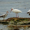 Group of Ibises off of Key West