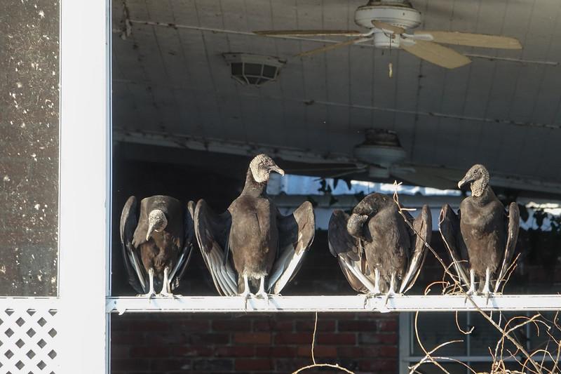 Four Buzzards
