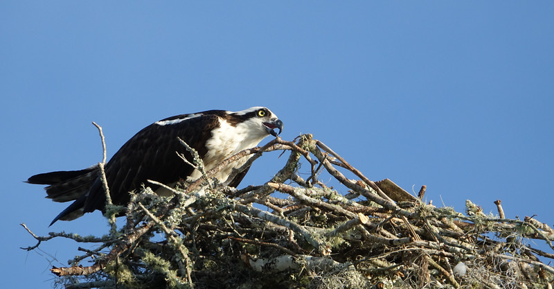 Osprey Calling Out While Standing in Nest
