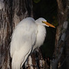 Close-up of Great Egret in the Shadows of Cypress Trees