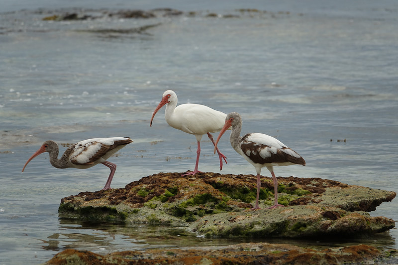 Three Ibises Along Mangrove Lagoon on Key West Florida