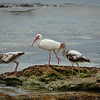 Three Ibises Along Mangrove Lagoon on Key West Florida