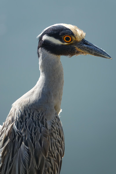 Close-up of Yellow Crowned Night Heron