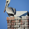 Pelican Sitting on a Chimney on the Bird House