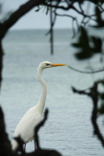 Great Heron Through the Mangrove Trees