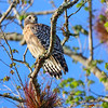Red Shouldered Hawk on a Branch