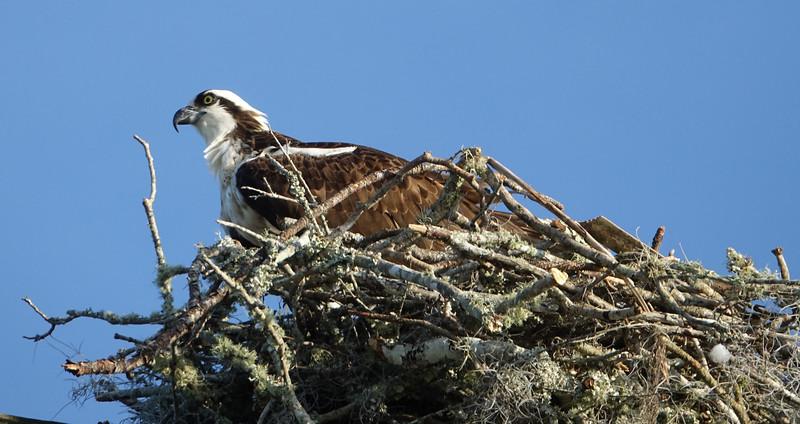 Side View of Osprey in Nest