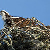 Side View of Osprey in Nest