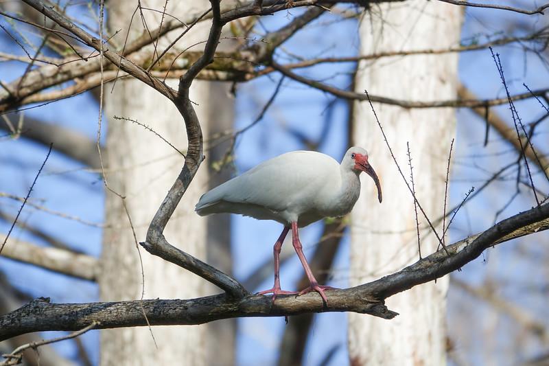 White Ibis Walking Along a Tree Branch