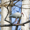 White Ibis Walking Along a Tree Branch
