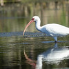 Adult White Ibis with Water Dripping From its Beak