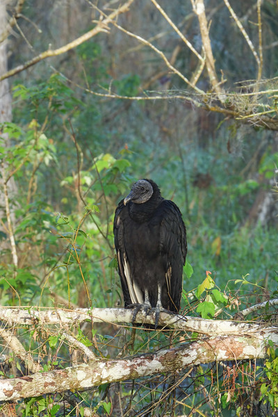 Black Headed Vulture on a Branch