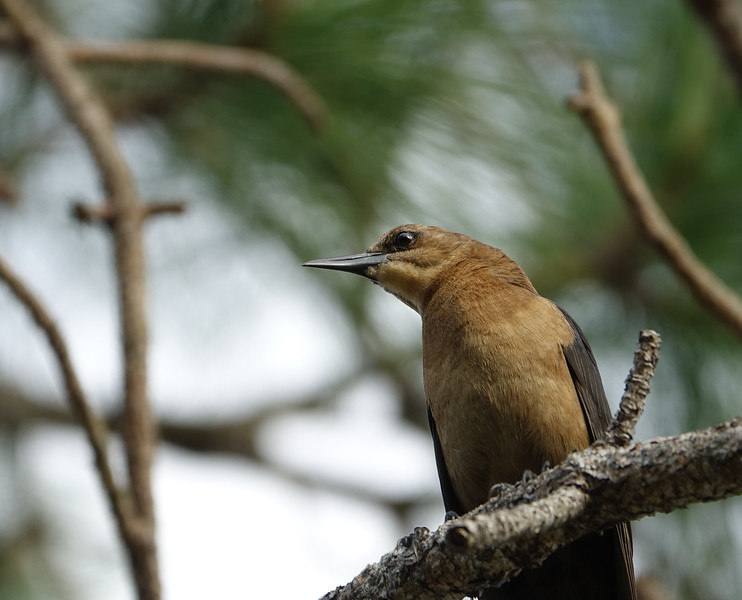 Boat-Tailed Grackle in a Pine Tree