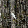 Great Heron on a Branch in a Cypress Swamp