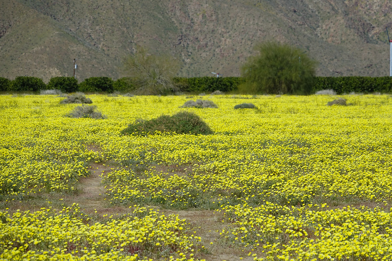 California Dandelions