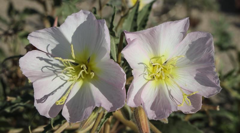 Desert Evening Primrose
