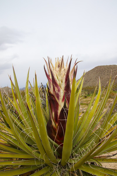 Chaparrel Yucca Blooms