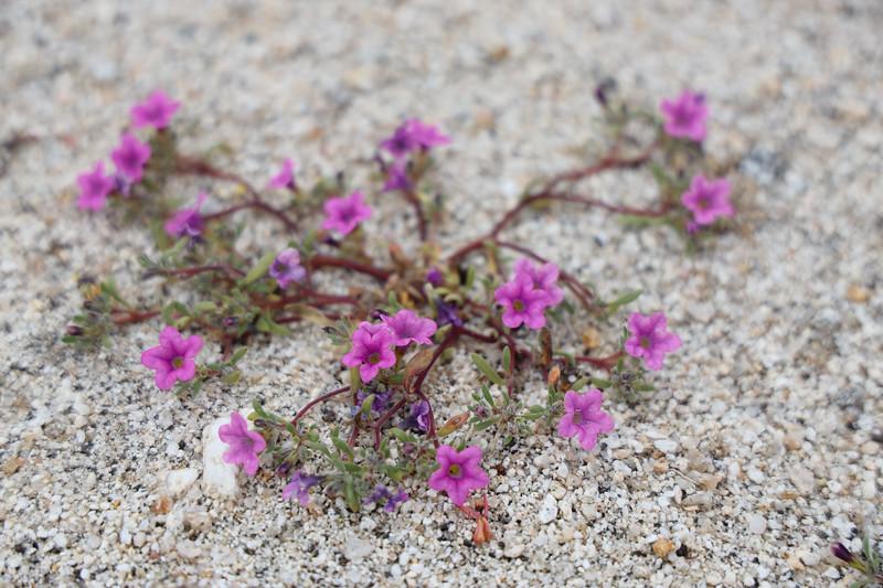 Closeup of Purple Mat Wildflower