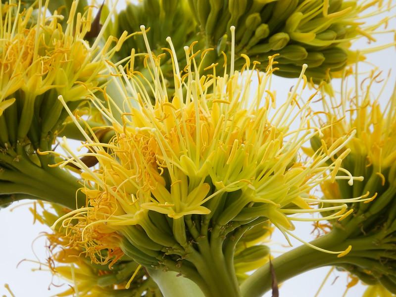Desert Agave, Century Plant