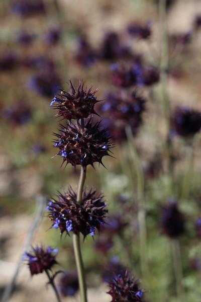 Chia Wildflower