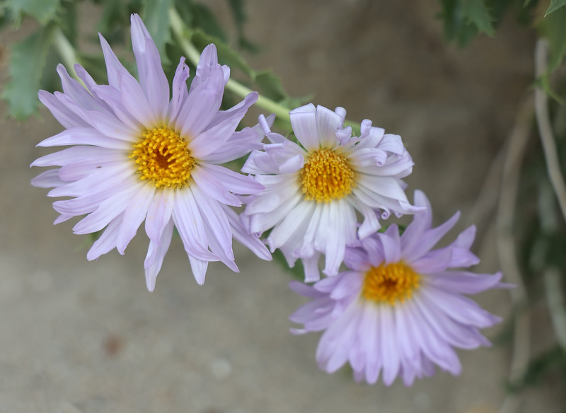 Purple Mohave Aster
