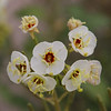 Brown-Eyed Primrose