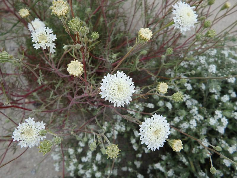 Freemont's Pincushion Wildflower