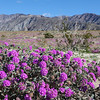 Purple Verbena in Anza-Borrego State Park