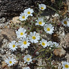 Emery's Rock Daisy
