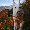 My German Shepard, Taz, Smelling the Flowers.
