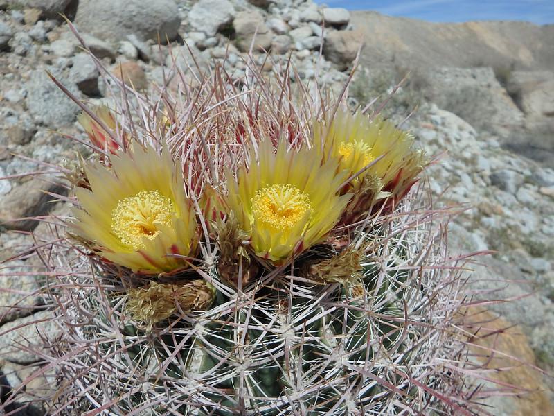 Las Tres Amigas, Barrel Cactus Blooms