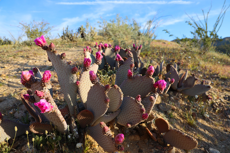 Prickly Pear (Beaver Trail) Blooming in Coyote Valley in Anza-Borrego State Park