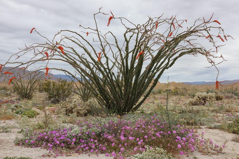Firey Red Ocotillo Blooms in June Wash in Anza-Borrego