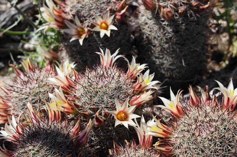 Closeup of Blooming Fishhook Cacti