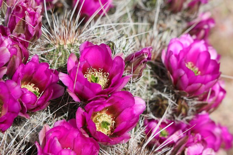 Bright Pink Blooms on Hedgehog Cactus