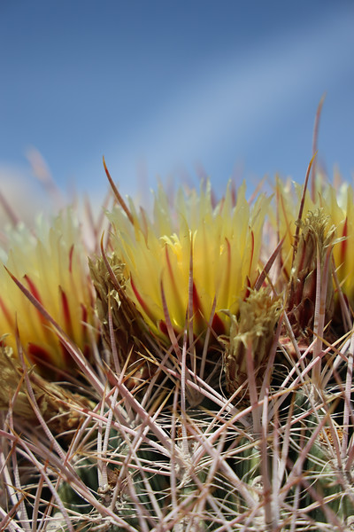 Side View of Barrel Cactus Blooms