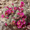 Bright Pink Blooms on Hedgehog Cactus