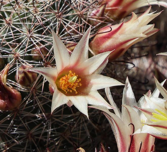 Single Blooming Fishhook Cactus Flower
