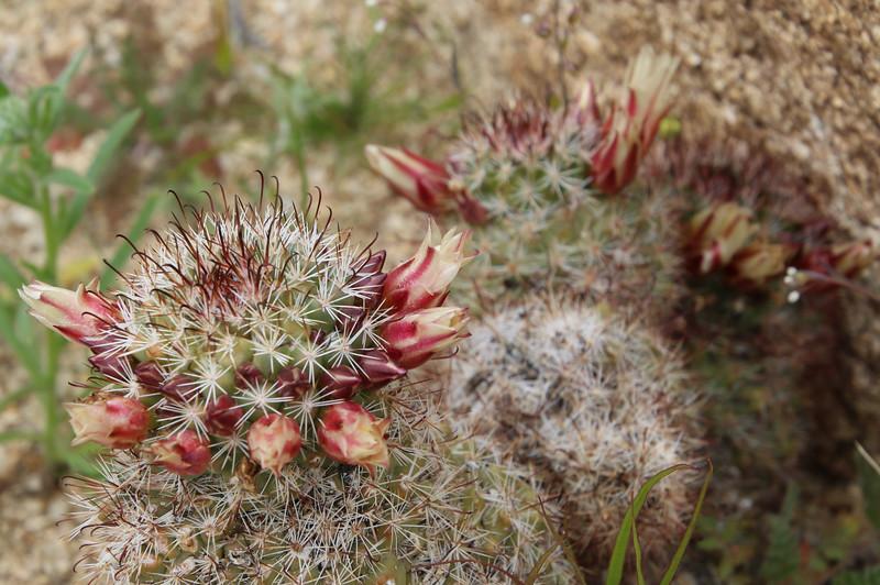 Fishhook Cactus Beginning to Bloom in Blair Valley in Anza-Borrego