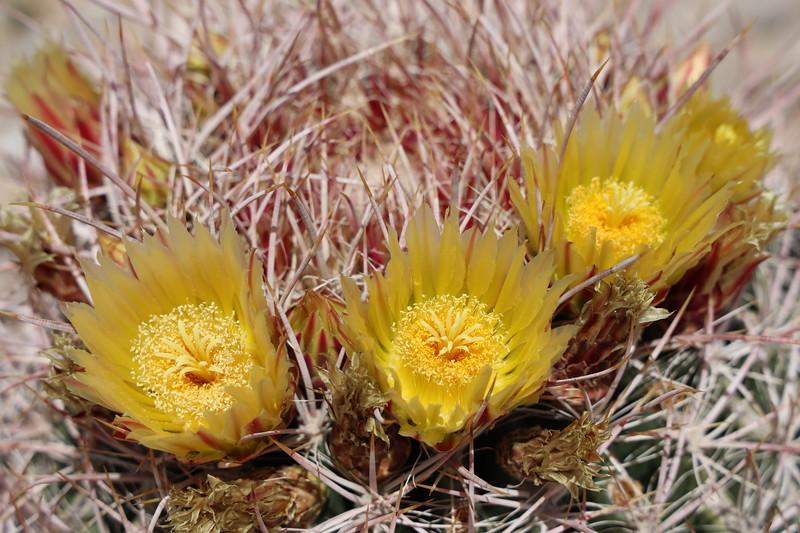 Closeup of Barrel Cactus Blooms