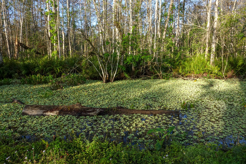 Water Lettuce in Cypress Swamp