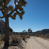 Joshua Tree Along Dirt Road in Joshua Tree National Park