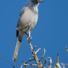 Scrub Jay in Joshua Tree National Park