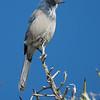 Scrub Jay in Joshua Tree National Park