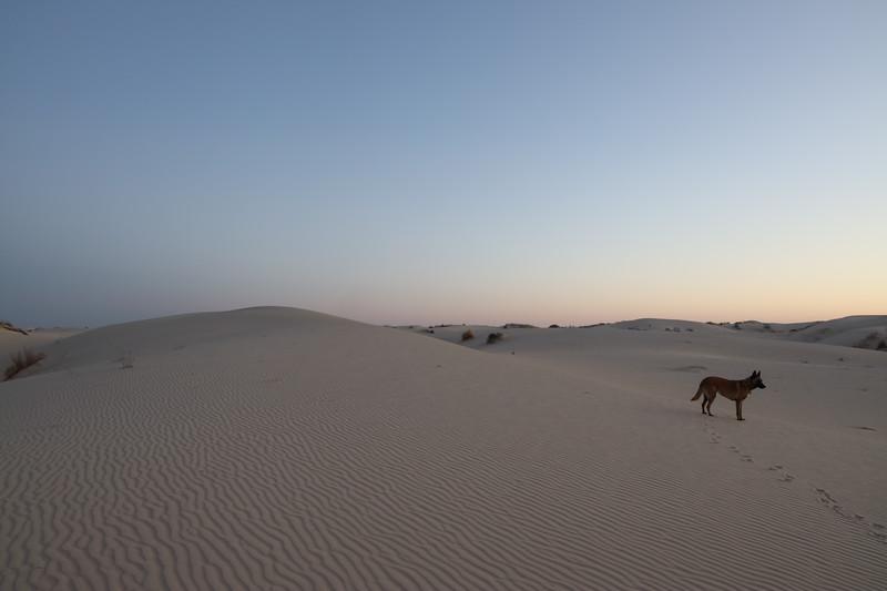 Belgina Malinois on the Sand Dunes