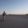 White German Shepard At Peace on the Sand Dunes