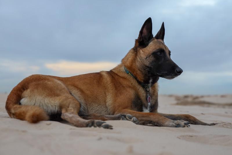 Belgian Malinois Resting on Sand Dunes